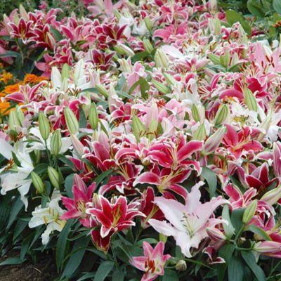 Lily 'Colour Carpet® Mixture' - 14 bulbs
