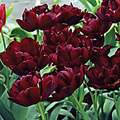 10 x Tulip 'Uncle Tom' Bulbs - Perennial Spring Flowers