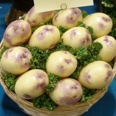 Potato 'Kestrel' - 10 tubers