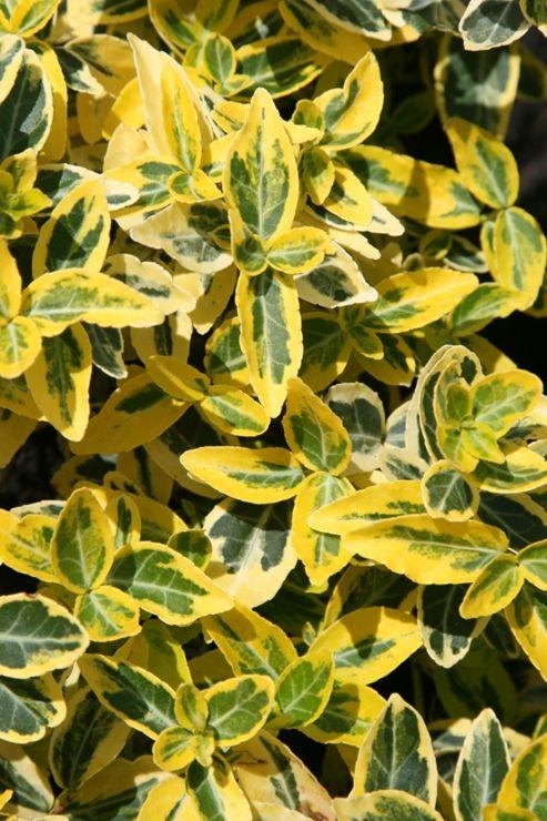 winter creeper (Euonymus fortunei 'Emerald 'n' Gold')