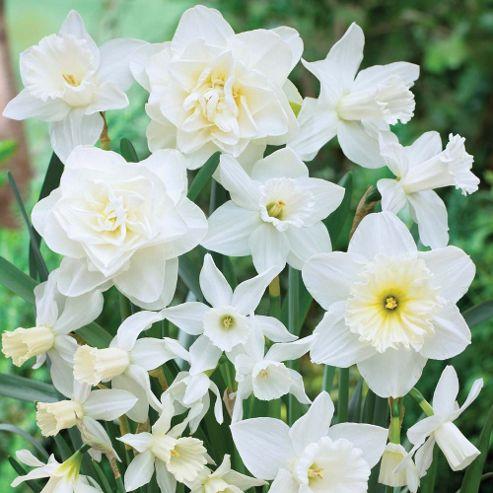 Narcissus 'White Diamonds Mixture' - 20 bulbs