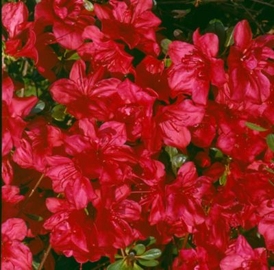 evergreen azalea (Rhododendron 'Mother's Day')