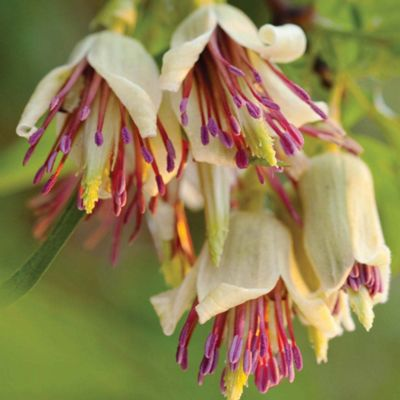 Clematis napaulensis - 1 x 7cm potted plant
