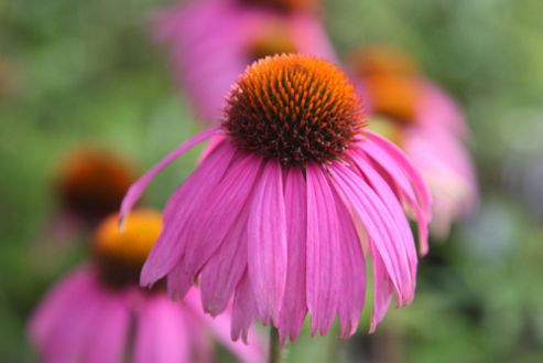 purple cone flower (Echinacea purpurea 'Kim's Knee High' (PBR))