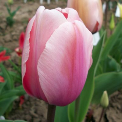 20 x Tulip 'Salmon Impression' Bulbs - Perennial Spring Flowers