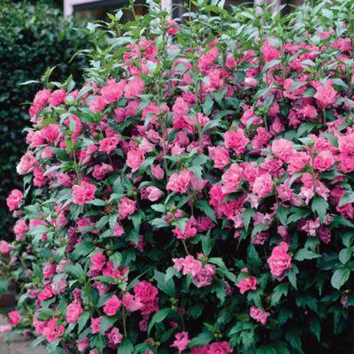 Hibiscus syriacus 'Turkish Delight' - 1 bareoot plant