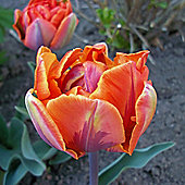 10 x Tulip 'Orange Princess' Bulbs - Perennial Spring Flowers