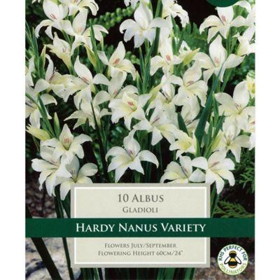 30 x Gladioli 'Albus' Bulbs - Perennial White Summer Flowers (Corms)