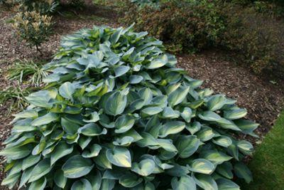plantain lily (Hosta (Tardiana Group) 'June' (PBR))