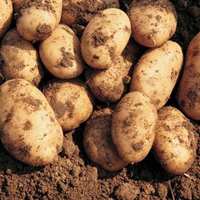 Potato 'Maris Peer' - 5 tubers