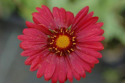 blanket flower (Gaillardia ? grandiflora 'Burgunder')