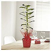 Dendrobium Gift