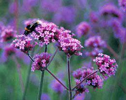 Verbena bonariensis promotion - 6 pack (Verbena bonariensis)