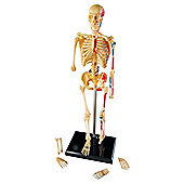 Learning Resources Anatomy skeleton