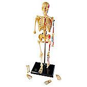 Learning Resources Anatomy skeleton