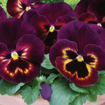 Pansy 'Matrix Sangria' - 48 plugs