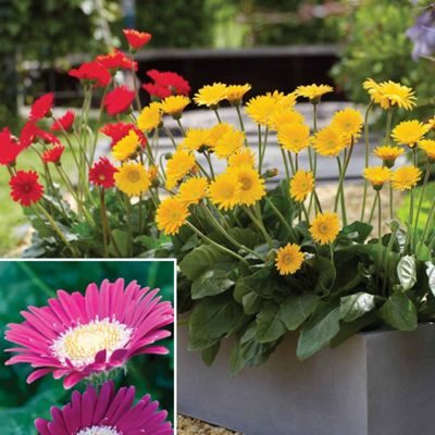 Gerbera 'Forever Daisies™' Collection B (Garvinea) - 6 x 9cm potted plants