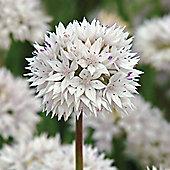 10 x Allium Amplectens 'Graceful Beauty' Bulbs - Perennial Spring Flowers