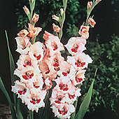 10 x Gladioli 'Wine & Roses' Bulbs - Perennial Cottage Garden Summer Flowers (Corms)