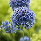 60 x Allium Caeruleum Bulbs - Perennial Spring Flowers