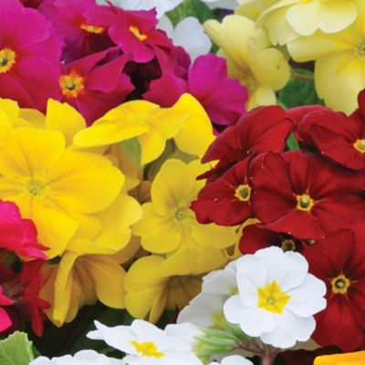 Polyanthus 'Most Scented Mix' - 72 plugs