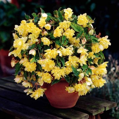 3 x Yellow Pendula Begonia Bulbs - Perennial Summer Flowers (Tubers)