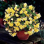3 x Yellow Pendula Begonia Bulbs - Perennial Summer Flowers (Tubers)