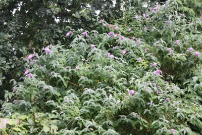butterfly bush (Buddleja 'Pink Delight')