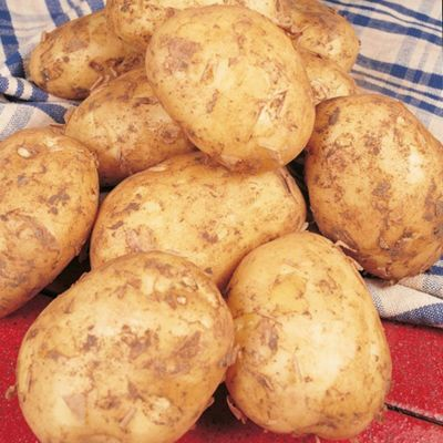 Potato 'Foremost' - 10 tubers