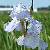 1 x Bearded Iris Germanica 'Blue Sapphire' Bulb - Perennial Cottage Garden Summer Flowers (Roots)