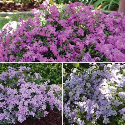 Phlox 'Papparazzi Collection' - 9 jumbo plugs - 3 of each variety