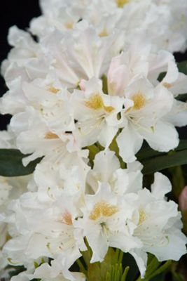 hybrid rhododendron (Rhododendron 'Cunningham's White')