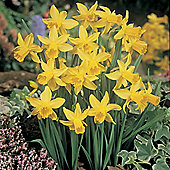 10 x Narcissus 'February Gold' (Daffodil) Bulbs - Perennial Spring Flowers