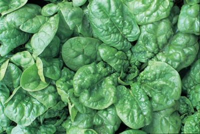 spinach (spinach 'Bloomsdale')