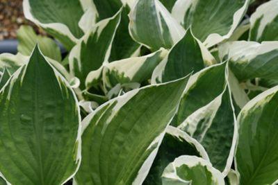plantain lily (Hosta 'Patriot')