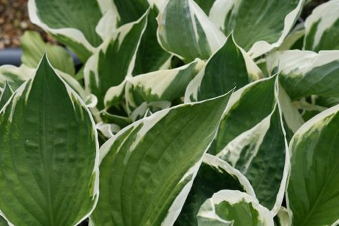 plantain lily (Hosta 'Patriot')