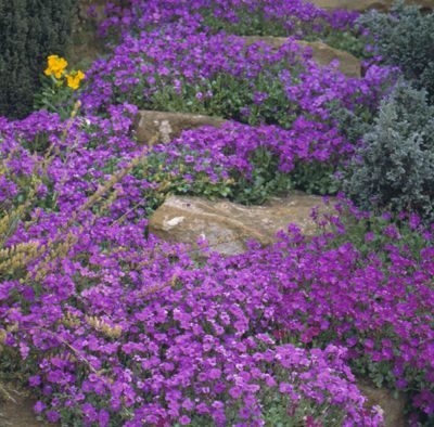 aubretia F1 (Aubretia 'Purple Cascade' (Cascade Series))