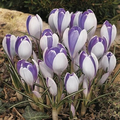 60 x Crocus 'Vanguard' Bulbs - Perennial Spring Flowers (Corms)