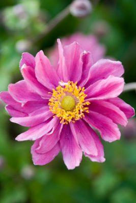 Japanese anemone (Anemone hupehensis var. japonica 'Pamina')