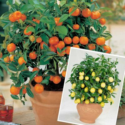 Citrus Patio Trees   2 Plants In 9cm Pots   1 Of Each Variety