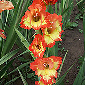 10 x Gladioli 'Princess Margaret Rose' Bulbs - Perennial Summer Flowers (Corms)
