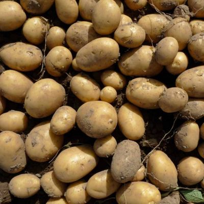 Potato 'Golden Nugget' - 5 tubers