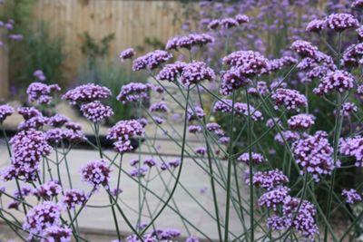 purple top (Verbena bonariensis)