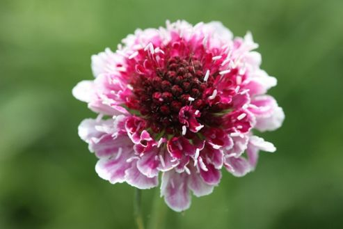 pincushion flower (Scabiosa Burgundy Bonnets ('Scabon') (PBR))