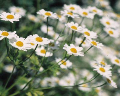 Roman chamomile (Chamaemelum nobile)