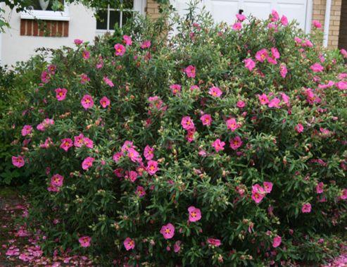 rock rose (Cistus ? purpureus)