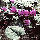 1 x Cyclamen Hederifolium Bulbs - Perennial Late Autumn Flowers (Corms)