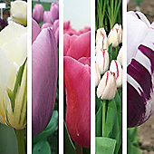 50pc Top 5 Tulip Bulb Collection - Perennial Spring Flowers