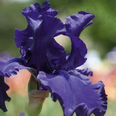 Iris 'Victoria Falls' (Re-Blooming) - 1 rhizome