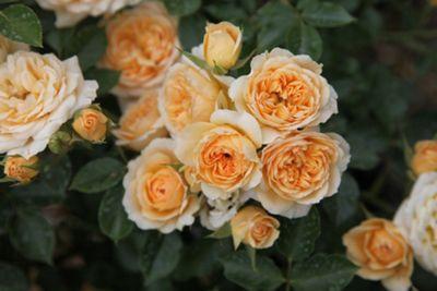 rose Happy Birthday (patio) (Rosa 'Happy Birthday')